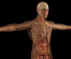 anatomy-6081933_640
